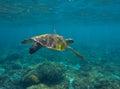 Green sea turtle close photo in ocean depth. Sea turtle closeup. Royalty Free Stock Photo