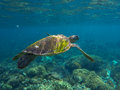 Green sea turtle close photo. Sea turtle closeup. Tropical sea wildlife. Royalty Free Stock Photo