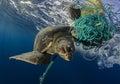 Green Sea Turtle, Galapagos