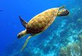 Green sea turtle a gracefully swimming along a reef Royalty Free Stock Photography