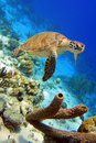 Green sea turtle a gracefully swimming along a reef Royalty Free Stock Photos