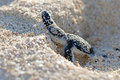 Green Sea Turtle Hatchling Stock Image