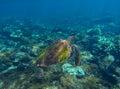 Green sea turtle photo in clean blue water. Sea turtle closeup. Royalty Free Stock Photo