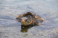 Green sea turtle on punalu u black sand beach in big island hawaii Royalty Free Stock Photo