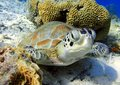 Green sea turtle a resting and looking at me Royalty Free Stock Photo