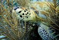 Green sea turtle a resting in the soft coral Royalty Free Stock Photography