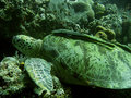 Green sea turtle sipadan coral reef Stock Image