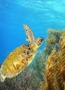 Green sea turtle a swimming along the reef Royalty Free Stock Photos