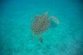 Green Sea Turtle Swimming Royalty Free Stock Photo
