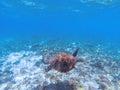 Green sea turtle underwater photo. Sea turtle in blue water. Marine tortoise swims in shallow seawater. Royalty Free Stock Photo