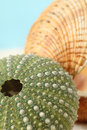 Green sea urchin and clam shell Royalty Free Stock Photos