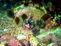 Green sea urchins Royalty Free Stock Photo
