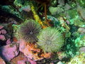 Green sea urchins Royalty Free Stock Photo