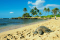 Green seaturtle at the beach of haleiwa o ahu hawai i Royalty Free Stock Photography