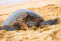 Green seaturtle at the beach of haleiwa o ahu hawai i Royalty Free Stock Photo