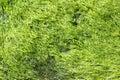 Green seaweed growth Royalty Free Stock Photo