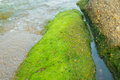 Green seaweed on the rocks roughness beach Royalty Free Stock Photography