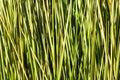 Green sedge background reed texture Stock Photo