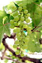 Green seedless grapes the on the tree Royalty Free Stock Image