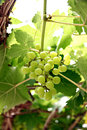 Green seedless grapes the on the tree Royalty Free Stock Photos