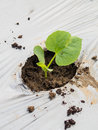 Green seedlings melon sprout sowing on mulching film Stock Photos