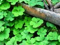 Green Shamrock leaves with an old branch wooden, clover leaves lucky symbol of Saint Patrick`s Day, holiday concept feeling fresh Royalty Free Stock Photo
