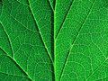 Green sheet tree Royalty Free Stock Image