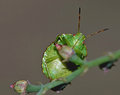 Green shield bug Royalty Free Stock Photo