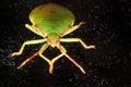 Green shield bug macro Royalty Free Stock Photo