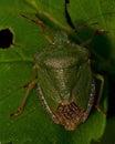 Green Shield Bug Palomena prasina Royalty Free Stock Photo