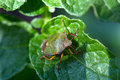 The green shield bug Royalty Free Stock Photo