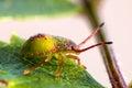Green shield bug Royalty Free Stock Photo