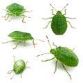 Green shield bugs, Palomena prasina, in front of Royalty Free Stock Photos
