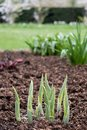 Green shoots growing in Regent`s Park in London at the start of Spring. Royalty Free Stock Photo