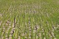 Green shoots of rice grown on dry land. Royalty Free Stock Photo