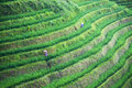 Green shoots of rice on mountain fields Royalty Free Stock Photo