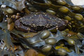 Green Shore Crab (Carcinus Maenus) Royalty Free Stock Photo