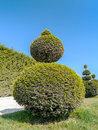 Green shrub ball shaped evergreen trimmed in versailles garden france Stock Image