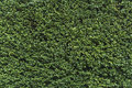 Green shrubbery wall. Royalty Free Stock Photo
