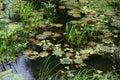 Green slime and duckweed on the lake Stock Image