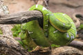 Green snake on a tree branch Royalty Free Stock Photo