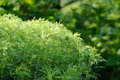 Green southernwood artemisia abrotanum shrub a bushy growing in the garden Stock Images