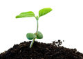 Green soybean Royalty Free Stock Photo