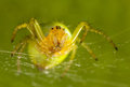 The green spider Stock Photos