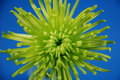 Green spider mum Royalty Free Stock Photo