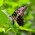 Green Spotted Butterfly Stock Images