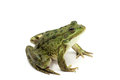 Green spotted frog on white background Stock Photos