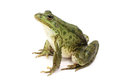 Green spotted marsh frog on white background Stock Photography