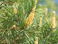 Green spring branches of pine, flowering, pollination. Pollen Allergy. Close up Royalty Free Stock Photo