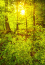 Green spring forest in sun rays of evening Royalty Free Stock Image